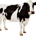 Black White Cow Transparent Background