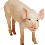 PIG Transparent Background