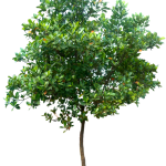 Tree PNG Clipart Background